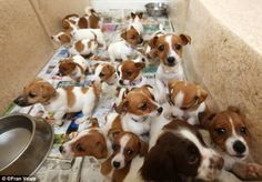 Rescued puppies in Ireland...Awwww I want them All!  It's 101 Jack Russells ;)