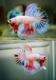 Feathertail betta rosetail and feathertail is an extreme for Dragon fish for sale