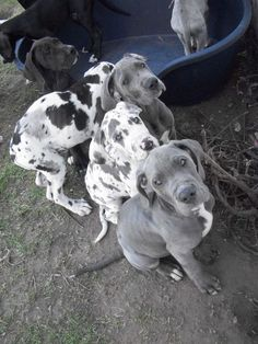 Great Dane Puppies Harlequin Blue Ready Now Doncaster South Chien Halloween, Dog Halloween, Big Dogs, I Love Dogs, Cute Dogs, Weimaraner, Le Plus Grand Chien, Cute Dog Costumes, Dane Puppies