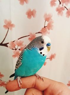 Cutie is a teal parakeet that is beautiful