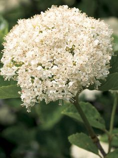 Viburnum Chicago Lustre - to pollinate blue muffin in the circle - gets very large so plant near the back of the circle