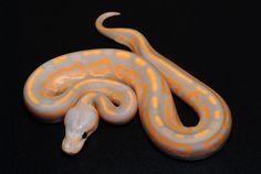 Coral Glow Cinnamon Reticulated Python, Types Of Snake, Burmese Python, Pretty Snakes, Ball Python Morphs, Corn Snake, Python Snake, Pet Snake, Reptiles And Amphibians