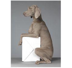 weimaraner dog photographer wegman - Google Search