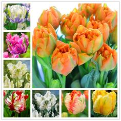 100pcs Tulip Seeds White Blue Purple mixed color Flower seeds bonsai flower seeds colorful plants for home garden    / //  Price: $US $0.40 & FREE Shipping // /    Buy Now >>>https://www.mrtodaydeal.com/products/100pcs-tulip-seeds-white-blue-purple-mixed-color-flower-seeds-bonsai-flower-seeds-colorful-plants-for-home-garden/    #OnlineShopping