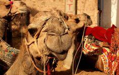 Pushkar Camels by Arun Shah Masood, via Flickr