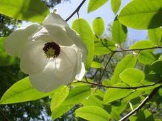 Fantastic Magnolia Sieboldii. Photo: Camilla Sandén