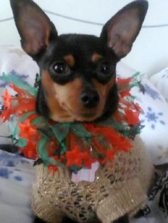 Peanut - my Miniature Pinscher