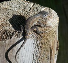 Male Eastern Fence Lizard - Photo by Alan Wiltsie