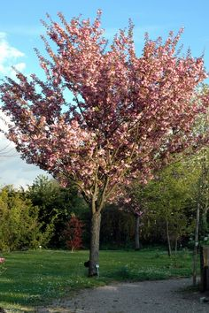 cerisier fleurs du japon prunus 39 accolade 39 arbres tiges et d 39 avenues p pini res meylan. Black Bedroom Furniture Sets. Home Design Ideas