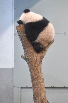 Panda Love, Cute Panda, Cute Little Animals, Cute Funny Animals, Animal Pictures, Cute Pictures, Baby Panda Bears, Panda Wallpapers, Cute Bears