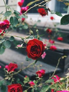 Image about beautiful in a 🌹Rose cottage by 𝓈𝒶𝓂𝒶𝓃𝓉𝒽𝒶 𝓈𝑒𝓇𝑒𝓃𝒶 ✰ Red Rose Flower, My Flower, Red Roses, Flower Power, Flower Car, Flowers Nature, Love Flowers, Rose Cottage, Flower Wallpaper