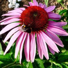 #jeżówka #trzmiel #echinacea #flower
