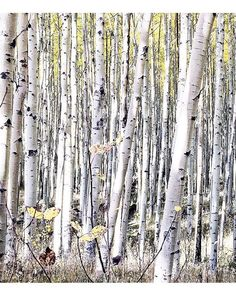 Aspen forest ❤️ Desert Mountains, Birch Forest, Old Trees, Walk In The Woods, Watercolor Cards, Pictures To Paint, Aspen, Kids Rooms, Art Tutorials