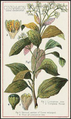 Cinnamon, Laurus cinnamomum [front] | Flickr - Photo Sharing!