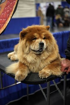 Chow chow. In loving memory of Hooch,a great family friend! R.I.P Old boy!