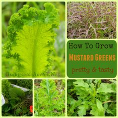 Growing Mustard Greens is very easy! These delicious salad leaves are beautiful and have strong flavors that mix well with other leaves.