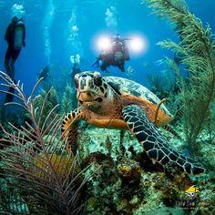 Sea Turtle Diver Down, Peaceful Heart, Turtle Love, Water Animals, Wild Creatures, Sea Turtles, Under The Sea, Ark, Animals Beautiful