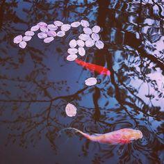 #桜 #reco_ig #sakura #金魚 #goldfish #cherryblossom #iphonex #iphonephotography #team_jp_  #indies_gram #indy_photolife #daily_photo_jpn #bestjapanpics #vsco #top_portrait_photo #jp_gallery #ig_phos #impression_shots #pics_jp #igersjp #colorsjp #hueart_life