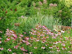 Echinacea purpurea and Eupatorium with Panicum virgatum 'Heavy Metal' and Rhus typhina 'Laciniata'; Nancy J. Ondra at Hayefield
