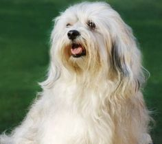 Although there are a number of arguments on whether the original Havanese have been all white or of various colors, modern day Havanese are acceptable in all coat colors and patterns.