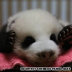 cute panda photos
