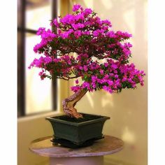 Herons Bonsai   What is Indoor Bonsai  One advantage of growing indoor bonsai is that many beginners like to keep their bonsai where is can be seen and protected at all times. Bonsai are also useful for decorating a room, reflecting your taste and making a statement about your lifestyle. In recent years, bonsai have become more popular because of the association with Zen and minimalist styles of decor.