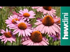 One of the very best for attracting butterflies, growing echinacea, or the purple cone flower (Echinacea purpurea), adds a flashy touch of color to the late summer landscape. Flowers Perennials, Planting Flowers, Flower Gardening, Prairie Planting, Types Of Herbs, Blooming Plants, Flowering Plants, Summer Landscape, Landscaping With Rocks