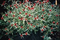 Pase Seeds - Gomphrena Strawberry Fields Annual Seeds, $3.99 (http://www.paseseeds.com/gomphrena-strawberry-fields-annual-seeds/)