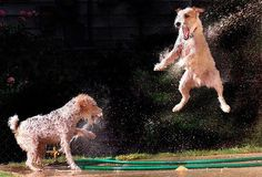 Dogs & Water.  I love this picture because my parson attacks the hose in the summer the same way!!!