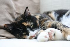 How to Remove Cat Hair From Furniture & Rugs