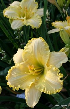 FERENGI GOLD A bright yellow w/ a subtle blush of pink, the round blooms are heavily ruffled. Oakes Daylilies