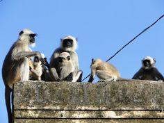 A family of monkeys in Samode Palace Índia