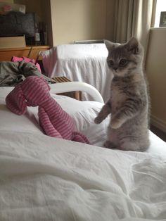 Elsa playing statues #cats #kitten #britishshorthair #queenelsa