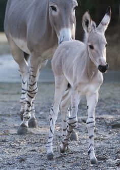 Meet a Somali Wild Ass Foal    Among the rarest mammals, the Somali Wild Ass is a critically endangered subspecies of African Wild Ass, which is itself critically endangered. This species is believed to be the ancestor of the domestic donkey.
