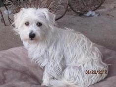 Molly is an adoptable West Highland White Terrier Westie Dog in Costa Mesa, CA. Molly is a very sweet, 3 year old West Highland Terrier Mixed most likely with a cairn terrier. She is a healthy, happy ...