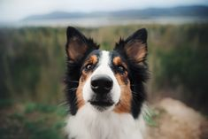 Collie. By Ksenia Raykova.