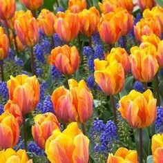 Tulips & Grape Hyacinths (Muscari)