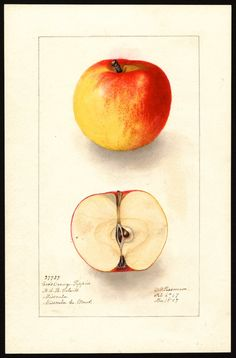The USDA's National Agricultural Library contains around 3800 watercolor paintings of apples