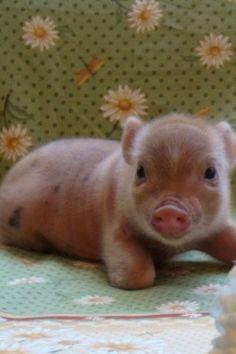 Mini pigs!! Adorable!
