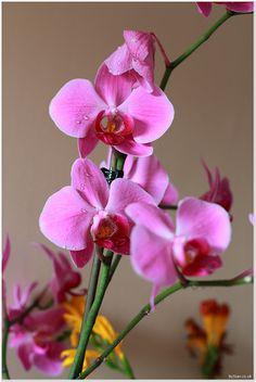 Bellisima Pink Orchid