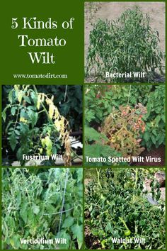 Growing Tomatoes Tips Compare 5 kinds of tomato wilt so you can identify and treat problems on your tomato plants - Use this information to compare 5 kinds of tomato wilt as you're identifying tomato plant diseases. Growing Tomato Plants, Growing Tomatoes In Containers, Grow Tomatoes, Baby Tomatoes, Garden Tomatoes, Heirloom Tomatoes, Caring For Tomato Plants, Cherry Tomatoes, Dried Tomatoes