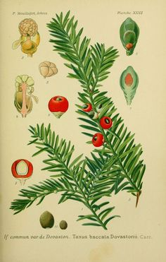 img / trees shrubs designs / drawings trees and shrubs 0119 dovaston common yew - Taxus baccarat dovastonii.jpg