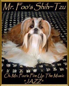 Mr Foo's Shih Tzu