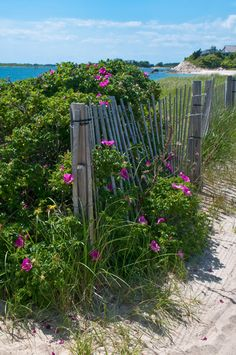 Falmouth, MA. These  flowers are all over the Cape.