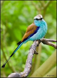 Racket-tailed Roller (Coracias spatulatus) from Africa by E.J. Peiker.