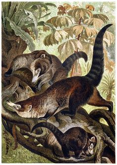 White-nosed coati. From Brehms Tierleben (Brehm's animal life) vol. 2, under the direction of Alfred Edmund Brehm, Leipzig Vienna, 1900. (Source: archive.org)