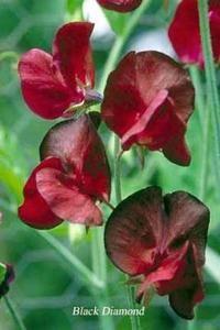 growing sweet peas in the Pacific Northwest (sweet pea Black Diamond)