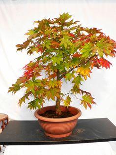 * rs Bonsai Acer sieboldianum Siebolds-Ahorn 015