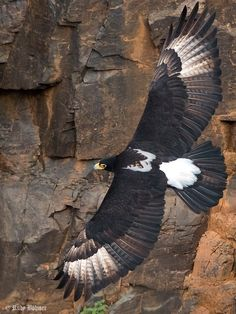 Verreaux's Eagle (Aquila verreauxii) in South Africa by Rudy Böhmer. This is one of the most specialized species of raptor in the world, with its distribution and life history revolving around its favorite prey species, the Rock Hyraxes.