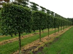 Pleached Pyrus Calaryana 'Chanticleer' Instant Hedges - Suppliers and Growers of Semi-Mature and Mature Trees, Shrubs and Instant Hedge